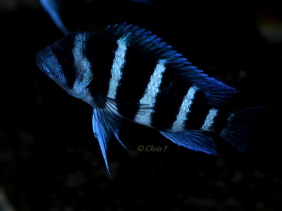 "Cyphotilapia Gibberosa ""Blue Zaire"" Kapampa"