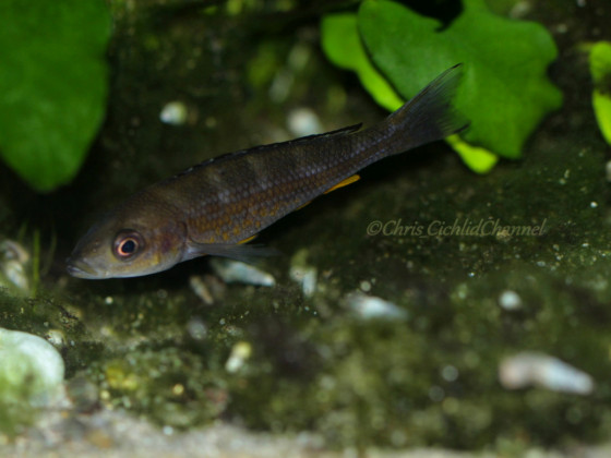 Paracyprichromis Brieni Chituta WFNZ