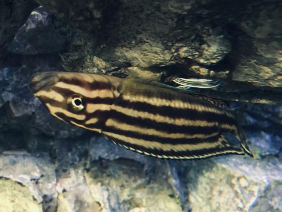 Julidochromis regani im Rückenschwumm
