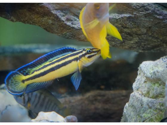 Julidochromis regani Weibchen