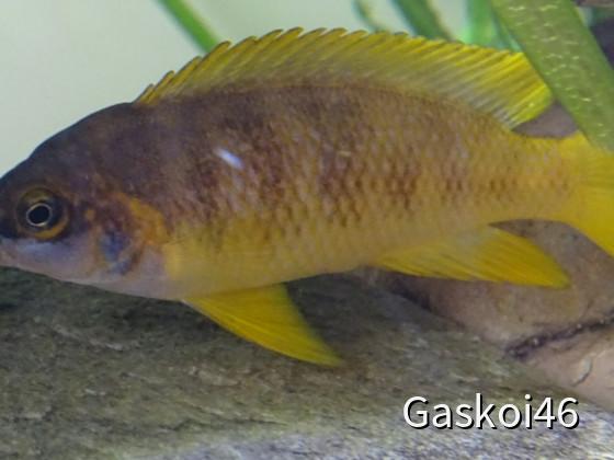 N. Mustax Männchen
