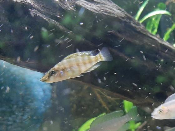 Altolamprologus compressiceps Mandarin
