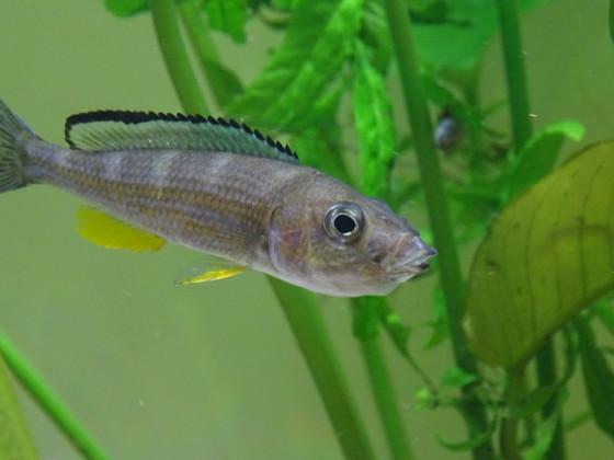 Paracyprichromis Brieni Mädel mit vollem Maul