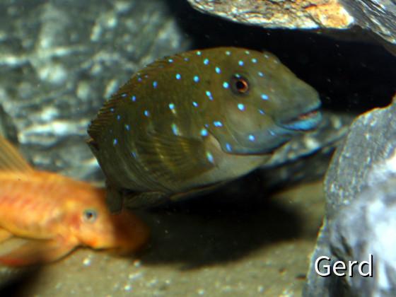 Eretmodus cyanostictus
