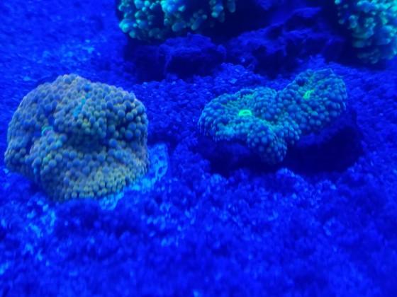Ricordea florida blue green & Ricordea florida orange