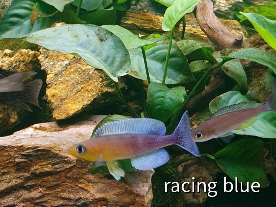 Cyprichromis  Bock
