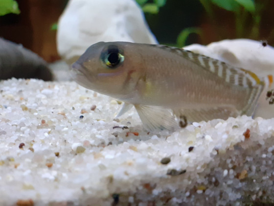 Neolamprologus Ornatipinnis striped
