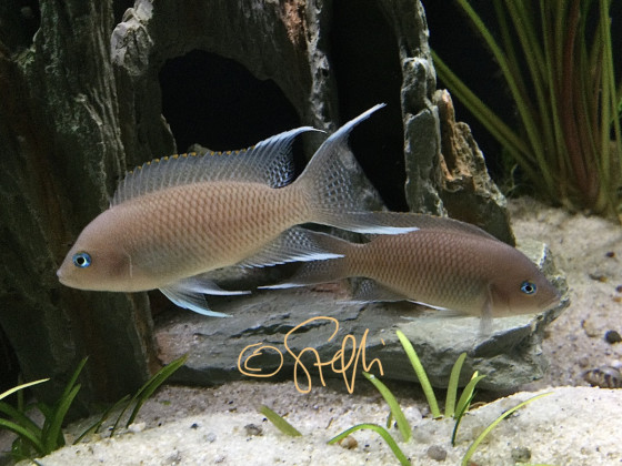 Neolamprologus marunguensis Kafitilila