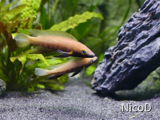 Neolamprologus nigriventris (F1) - Zuchtpaar