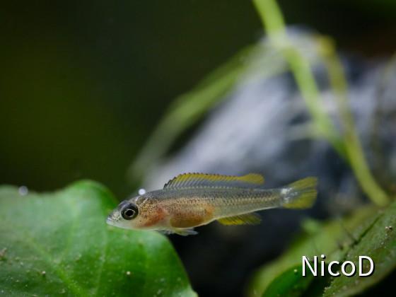 Neolamprologus nigriventris (F2) - Jungfisch ca. 5 Wochen nach dem Freischwimmen (17-18mm groß)