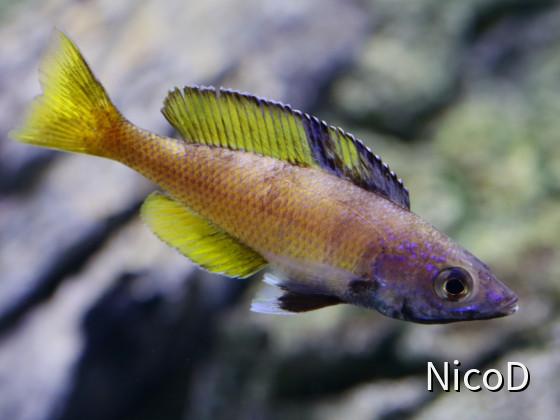 Cyprichromis leptosoma speckleback Moba (F1) - tolle Farbkombi