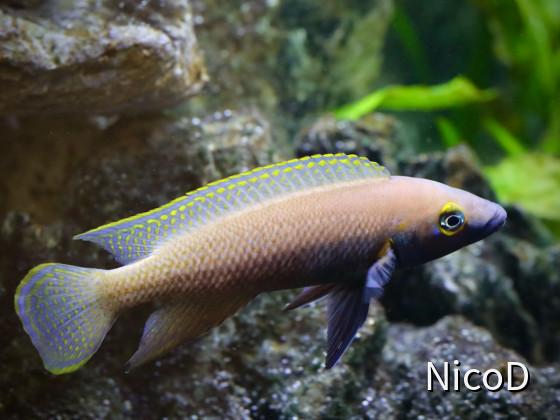 NEOLAMPROLOGUS NIGRIVENTRIS (F1) - Männchen