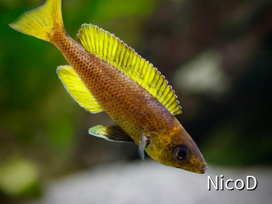 Cyprichromis leptosoma speckleback Moba (F1) - Shining bright...
