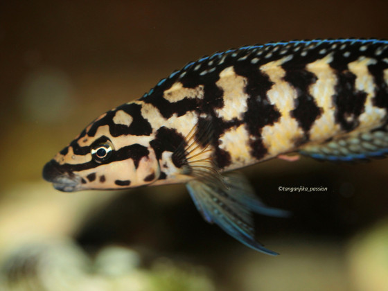 Julidochromis transcriptus Kalemie