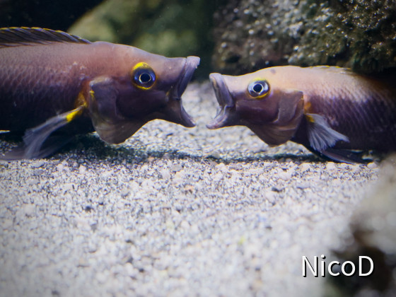 NEOLAMPROLOGUS NIGRIVENTRIS (F1) - Fight club...