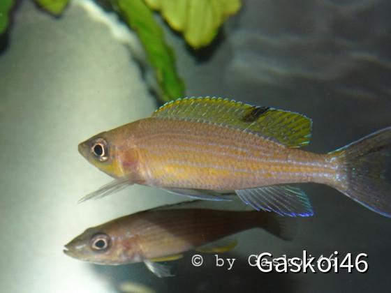 Paracyprichromis brieni Milima OB