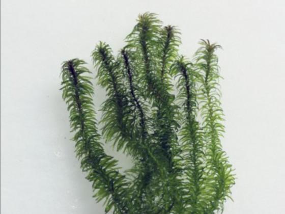 Grundnessel Hydrilla Verticillata