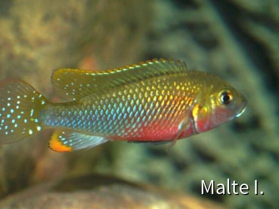Lufubuchromis relictus