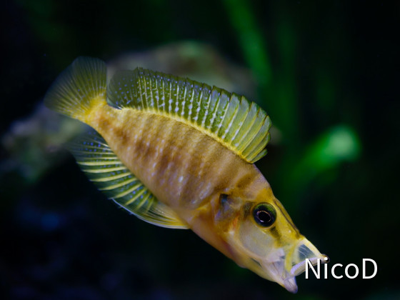 ALTOLAMPROLOGUS COMPRESSICEPS MANDARIN KILIMA (F1) - WEIBCHEN - STRETCHING...