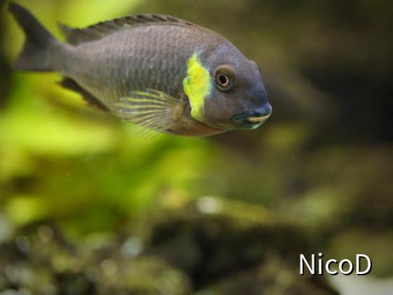 Tropheus brichardi canary cheek (F1) - adults Tier