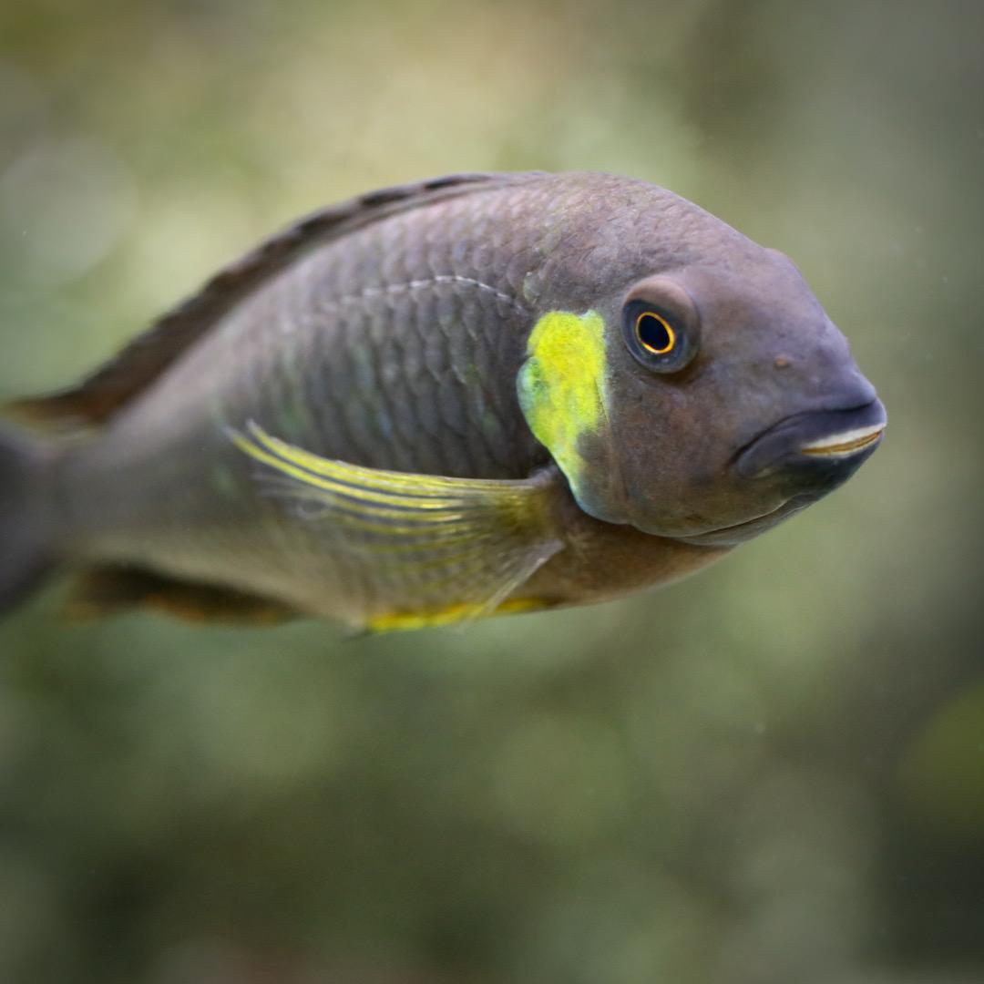 Tropheus brichardi canary cheek (F1) - Close-up adults Tier