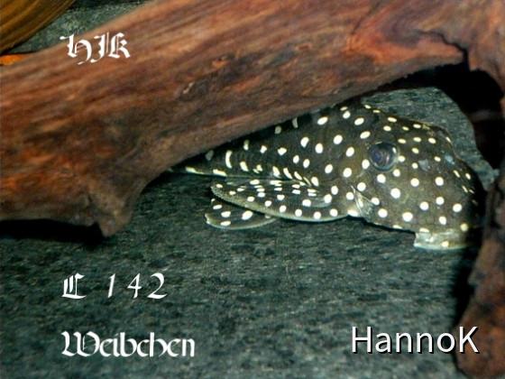 L 142 Weibchen