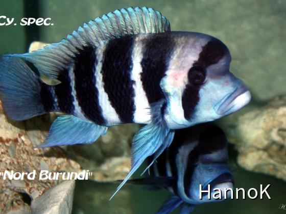 Cyphotilapia spec. Nord Burundi