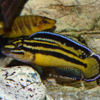 Julidochromis marksmithi Nkondwe