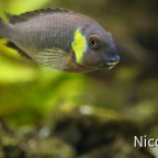 Tropheus brichardi canary cheek (F1) - adults Tier
