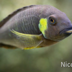 Tropheus brichardi canary cheek (F1) - Close-up adults Tier