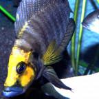 A. Compressiceps Kasanga Gold Head WF Bock