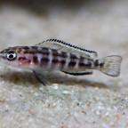 julidochromis transcriptus kissi