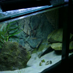 100x40x50, Neolamprologus Nigriventris WF, Paracyprichromis nigripinnis blue neon WF, Back to Nature Slimeline
