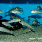 Asprotilapia leptura Purple + Microdontochromis rot & iventralis