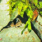 synodontis polli white