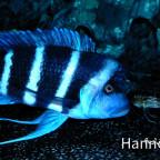 Blue Zaire  Männchen