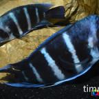 Frontosa Blue Zaire Moba bei der Paarung