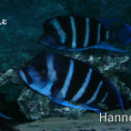 "Cyphotilapia gibberosa Blue Zaire ""Kitumba"""
