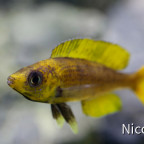 Cyprichromis leptosoma speckleback Moba (F1) - gelbes Männchen