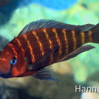 Tropheus red cheek