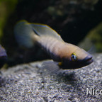 NEOLAMPROLOGUS NIGRIVENTRIS (F1) - Weibchen