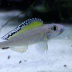 xenotilapia spilopterus mabilibili