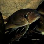 Limnochromis Auritus F0