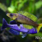 Cyprichromis leptosoma speckleback Moba (F1) - Blau gegen Gelb :-)