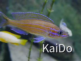 Paracyprichromis nigripinnis blue neon chituta WF
