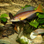 Microlepidotus  Nyanza Lac F0