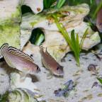 Lamprologus ornatipinnis