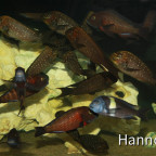 Petrochromis trewavasae und die Mitbewohner