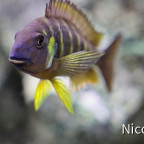Tropheus brichardi canary cheek (F1) - semi-adults Tier