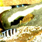 Altolamprologus Compressiceps Gold Head WFNZ